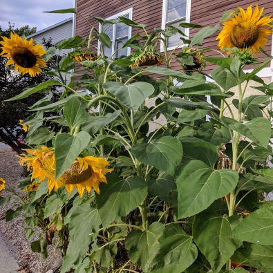 Sunflowers at every turn _ Centennial near Western Ave _ downtown Gloucester Mass©c ryan 2018 Aug 30