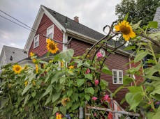 Sunflowers at every turn _ Centennial_downtown Gloucester Mass©c ryan 2018 Aug 30 (16)