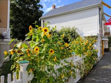 Sunflowers at every turn _ downtown Gloucester Mass©c ryan 2018 Aug 30 (8)