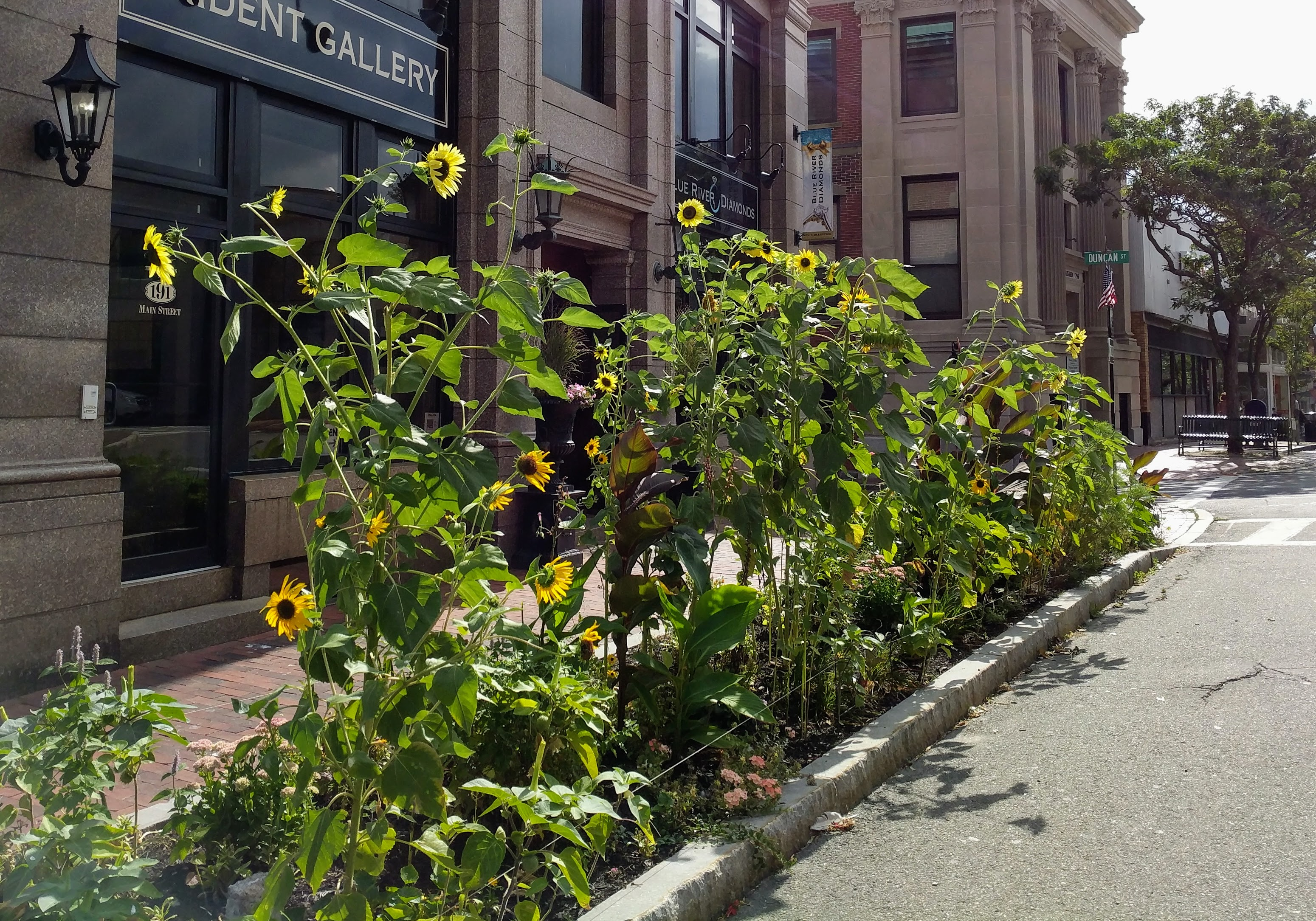 Sunflowers at every turn _ Main Street and Pleasant _ this one thanks Patti Amaral_ downtown Gloucester Mass©c ryan 2018 Aug 30 (2)