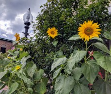 Sunflowers at every turn _ Main Street Bananas _ downtown Gloucester Mass©c ryan 2018 Aug 30
