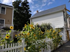 Sunflowers at every turn _ Washington Street_downtown Gloucester Mass©c ryan 2018 Aug 30 (7)