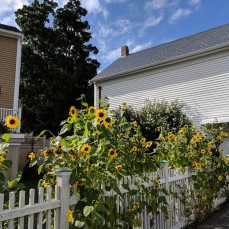 Sunflowers at every turn _ Washington Street_downtown Gloucester Mass©c ryan 2018 Aug 30 (7)