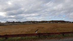 seasons great marsh back of Good Harbor Beach_autumn rusts_marsh and rail_Gloucester Mass_2016 Nov 7_©catherine Ryan