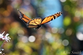 Monarch in flight copyright Kim Smith 2018