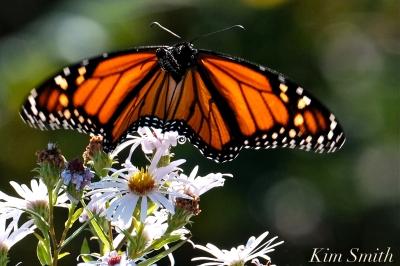 Monarch Late Purple Aster -1 copyright Kim Smith 2018
