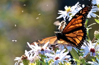 Monarchs Late Purple Aster -4 copyright Kim Smith 2018