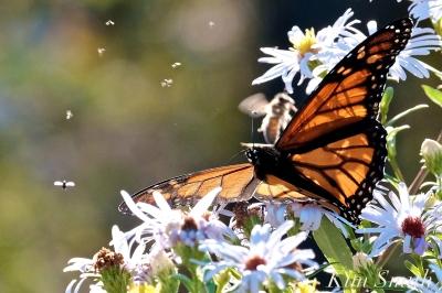 Monarchs Late Purple Aster -4 copyright Kim Smith 2018