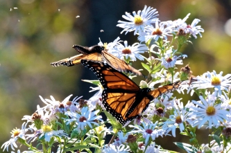 Monarchs Late Purple Aster-7 copyright Kim Smith 2018