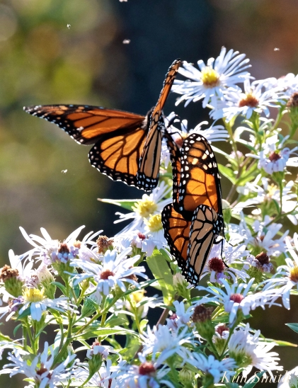 Monarchs Late Purple Aster -8 copyright Kim Smith 2018