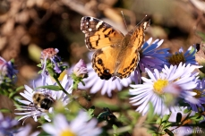 American Lady Butterfly and Bee copyright Kim Smith - 06