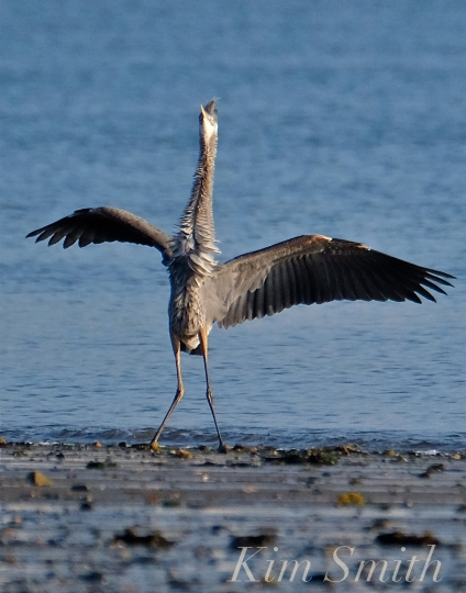 Grand Heron of the Great Marsh - Great Blue Heron copyright Kim Smith - 03