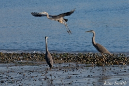 Grand Heron of the Great Marsh - Great Blue Heron copyright Kim Smith - 06