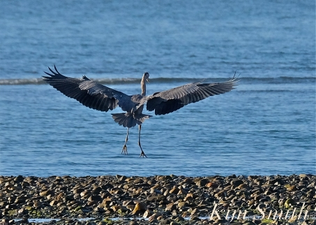 Grand Heron of the Great Marsh - Great Blue Heron copyright Kim Smith - 10