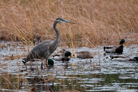 Grand Heron of the Great Marsh - Great Blue Heron copyright Kim Smith - 24
