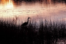 Grand Heron of the Great Marsh - Great Blue Heron copyright Kim Smith - 31 copy