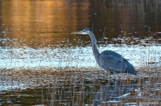 Grand Heron of the Great Marsh - Great Blue Heron copyright Kim Smith - 32
