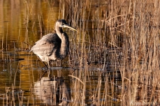 Grand Heron of the Great Marsh - Great Blue Heron copyright Kim Smith - 35