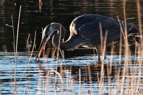 Grand Heron of the Great Marsh - Great Blue Heron copyright Kim Smith - 36
