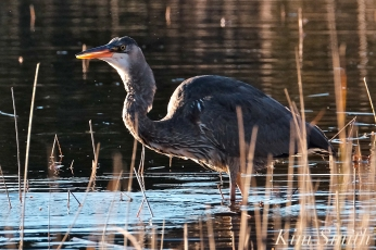 Grand Heron of the Great Marsh - Great Blue Heron copyright Kim Smith - 39