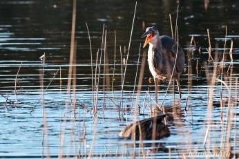 Grand Heron of the Great Marsh - Great Blue Heron copyright Kim Smith - 44