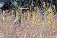 Grand Heron of the Great Marsh - Great Blue Heron copyright Kim Smith - 48
