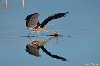 Great Blue Heron diving for breakfast copyright Kim Smith