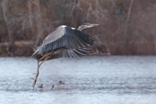 Great Blue Heron Flying Gloucester Massachusetts -2 copyright Kim Smith