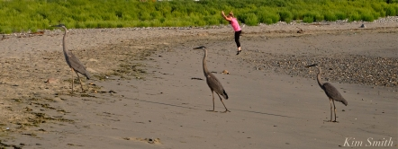 Great Blue Herons Going for a Stroll copyright Kim Smith