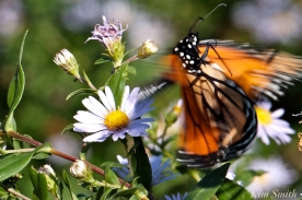 October Monarch Butterflies copyright Kim Smith - 07