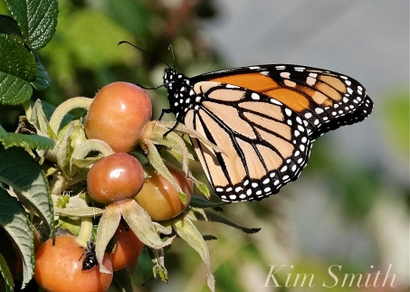 October Monarch Butterflies copyright Kim Smith - 10