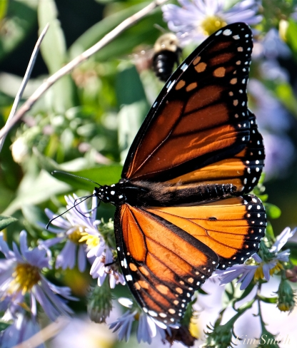 October Monarch Butterflies copyright Kim Smith - 12