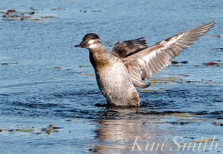 Ruddy Duck copyright Kim Smith