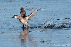 Ruddy Duck Take-off 2 copyright Kim Smith