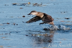 Ruddy Duck Take Off copyright Kim Smith