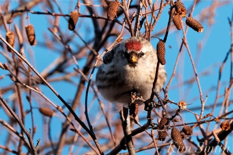 Common Redpoll Eating Seeds Massachusetts Carduelis flammea -3 copyright Kim Smith