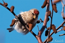 Common Redpoll Eating Seeds Massachusetts Carduelis flammea -4 copyright Kim Smith