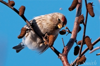 Common Redpoll Eating Seeds Massachusetts Carduelis flammea -6 copyright Kim Smith
