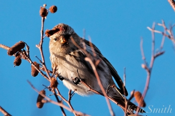 Common Redpoll Eating Seeds Massachusetts Carduelis flammea copyright Kim Smith