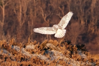 Snowy Owl Bubo scandiacus December -11 copyright Kim Smith