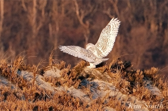Snowy Owl Bubo scandiacus December -12 copyright Kim Smith