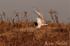 Snowy Owl Bubo scandiacus December -17 copyright Kim Smith
