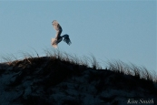 Snowy Owl Bubo scandiacus December -19 copyright Kim Smith