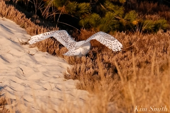 Snowy Owl Bubo scandiacus December -7 copyright Kim Smith