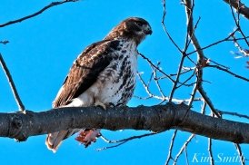 Red-tailed Hawk Gloucester Massachusetts -2 copyright Kim Smith