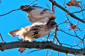 Red-tailed Hawk Gloucester Massachusetts -3 copyright Kim Smith