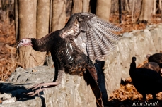 Wild Turkeys Massachusetts-2 copyright Kim Smith