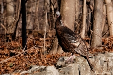 Wild Turkeys Massachusetts-7 copyright Kim Smith