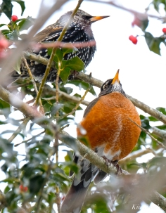 american robin european starling gloucester snowy day massachusetts -2 turdus migratorius 1-21-2019 copyright kim smith