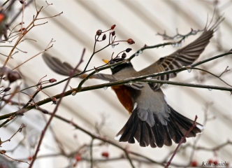 american robin gloucester massachusetts -16 turdus migratorius 1-21-2019 copyright kim smith
